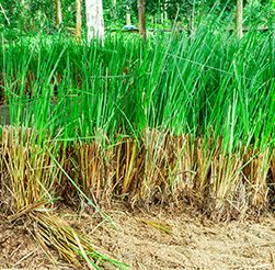 Vetiver grass . Nature. Scenery. Texture. Background