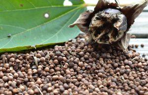 moschus-gibiscus